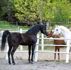 She breeds her own Arabian stock. The black one founded the bloodline. Baby Horses, Horses And Dogs, Cute Horses, Horse Love, Wild Horses, Animals And Pets, Beautiful Arabian Horses, Most Beautiful Horses, Majestic Horse