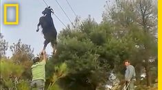 Bizarre Rescue: How Do Goats Get Stuck in Odd Places? | National Geographic #news #alternativenews
