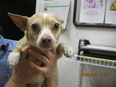 THUNDER-ID#A705642    My name is THUNDER.    I am a male, fawn and white Chihuahua - Smooth Coated.    The shelter staff think I am about 7 years old.    I have been at the shelter since Mar 22, 2013.