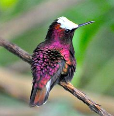 Snowcap. This is a tiny hummingbird, 6.5 cm long and 2.5 g in weight, with a short black bill and black legs. The adult male snowcap is unmistakable. It has the shining white cap which gives this species its English and scientific names, a deep purple body, and white outer tail feathers. The adult female is bronze-green above, dull white below, and has dull white outer tail feathers.