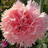 40 Sementes De Cravo-chabaud-dobrado-rosa