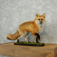 http://www.thetaxidermystore.com/red-fox-walking-life-size-taxidermy-mount-for-sale-12673.html