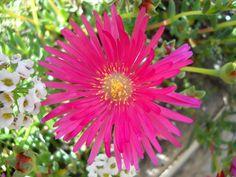 Agora que o sol voltou o lampranthus está no auge. E é impossível passar despercebido num jardim, em manchas muito vivas de vermelho, laranja, amarelo, branco ou violeta.É uma ótima planta vi…