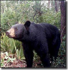 Florida black bear (Ursus americanus floridanus) Ocala National Forest, Florida