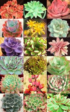 ECHEVERIA Variety Mix Exotic Rare Flowering Succulent Seed 50 Seeds Package exotic cactus http://www.amazon.com/dp/B00I52CVIO/ref=cm_sw_r_pi_dp_sgIKtb1PYVAZXBTD