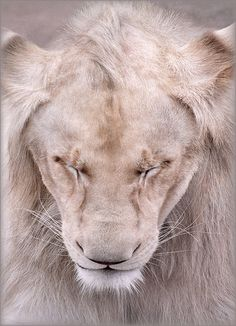 Beautiful creatures - with around an estimated 20,000 left in the wild, they are right along side the polar bear for need of protection.  The West African lion is considered critically endangered with only an estimated 406 left in the wild.