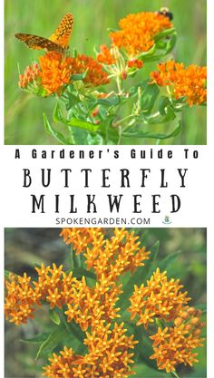 flower garden care Butterfly Milkweed is a beautiful summer-blooming flower important to Monarch caterpillars as host plants. Learn Butterfly milkweed care, flower maintenance, and tips for planting Butterfly milkweed seeds in your garden. Butterfly Garden Plants, Butterfly Weed, Monarch Butterfly, Orange Butterfly, Butterfly Flowers, Flowers Garden, Succulents Garden, Summer Blooming Flowers, Blooming Plants