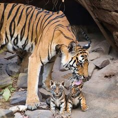 I don't wanna take a bath maa. A Bengal tiger mother grooming her four-week-old cubs at a den in Bandhavgarh National Park, India. Animals And Pets, Baby Animals, Cute Animals, Tiger Pictures, Animal Pictures, Wild Life, Beautiful Cats, Animals Beautiful, Tiger Moms
