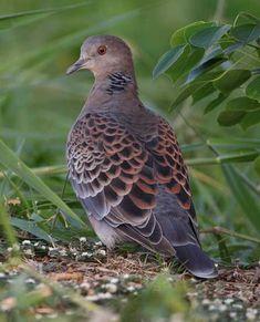 Dove Pigeon, Racing Pigeons, Mourning Dove, Dove Bird, Turtle Dove, Kinds Of Birds, 12 Days Of Christmas, Bird Species, Bird Art