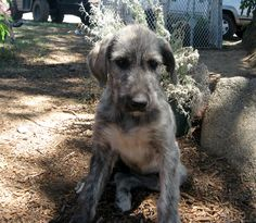 Irish Wolfhounds Puppies Hunt Farms - Irish Wolfhound Puppies for ...
