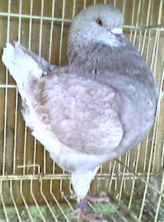 Show King Pigeons For Sale