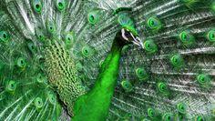 Imagen pavo real Verde