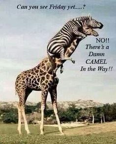 The 26 funniest pictures of animals riding other animals! Look at this great photo of a zebra riding a giraffe! Did you know you can you ride a giraffe? Pictures of cute animals always make me laugh beautiful cutest funny wild basteln lustig zeichnen Animals And Pets, Baby Animals, Funny Animals, Funniest Animals, Wild Animals, Funny Looking Animals, Jungle Animals, Zebras, Funny Animal Pictures