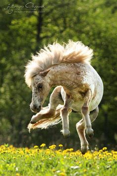 Horse Frolicking, bucking and carrying on in the green field full of dandelion flowers. This is such Cute horse! Little Appaloosa beauty!