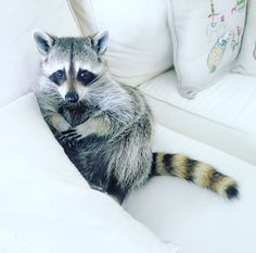 Can I please haz another? #pumpkintheraccoon #raccoon #weeklyfluff #instagram #instagood #instadaily #raccoonsofinstagram #pet #love #photooftheday by pumpkintheraccoon