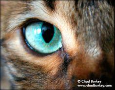 bengal cat eye
