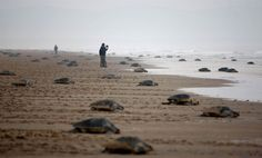 March of the turtles  Olive Ridley turtles return to the Bay of Bengal after laying eggs on a beach at the mouth of the Rushikulya River Ganjam, India, Feb. 14.