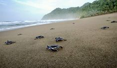 Baby green turtles crawl to the sea after being hatched at a turtle sanctuary in East Java province, Indonesia. According to conservationists, out of a thousand baby turtles hatched, one survives and returns to the island to lay eggs. Save The Sea Turtles, Baby Sea Turtles, Turtle Hatching, Leatherback Turtle, Village Tours, Animal Tracks, Turtle Beach, Green Turtle, Ocean Photography