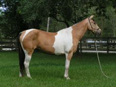 shoulders and hips, and leave the barrel of the horse colored. It can cross the top line and where it does, it will cross at the hip and shoulder first. Tobiano alone is thought to leave the face solid, but it is believed very few horses carry tobiano without having one of the other white patterns as well.