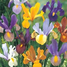 Beauty Dutch Iris Mixture