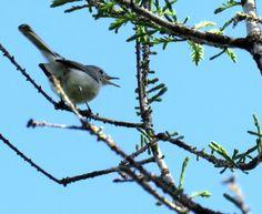 Bird Photos, Birding Sites, Bird Information: BLUE-GRAY GNATCATCHER, CORKSCREW SWAMP SANCTUARY, ...