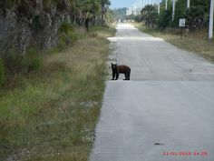Florida black bear with speed limit sign photographed by HPA Gate Guard Richard Rupe on the east side of the Faka Union Canal bridge on 52nd Ave SE during Merritt Canal Pump Station Construction in the Picayune Strand Restoration Project area.