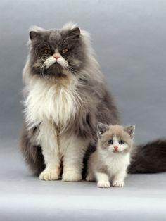 jane-burton-domestic-cat-blue-bicolour-persian-male-with-his-7-week-lilac-bicolour-kitten.jpg (338×450)