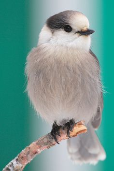 """Gray Jay - every Maine backwoodsman's friend (also called appropriately """"Camp Robber!"""")"""