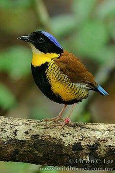 Pita de Gurney (Hydrornis gurneyi). Es ave paseriforme de la familia Pittidae de unos 20 cm. Se reproduce en la península de Malaca, con poblaciones en Tailandia y Birmania.