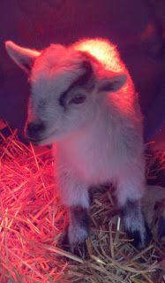 Our baby Nigerian Dwarf goat.