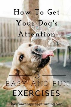 How to Get Your Dog's Attention with 3 easy and fun Exercises - read more at kaufmannspuppytraining.com @KaufmannsPuppy#dogtraining #puppytraining #dog