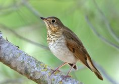 Swainson's Thrush | by Jerry Ting