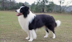 Border Collie Dog Breed Information
