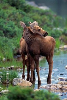 Moose Pictures, Animal Pictures, Nature Animals, Animals And Pets, Beautiful Creatures, Animals Beautiful, Cute Baby Animals, Funny Animals, Wapiti