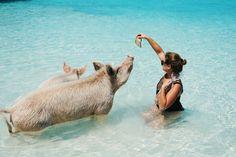 Schweine füttern auf den Bahamas