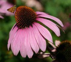 Echinacea purpurea_purple_coneflower_best_xeriscape_plants_for_texas