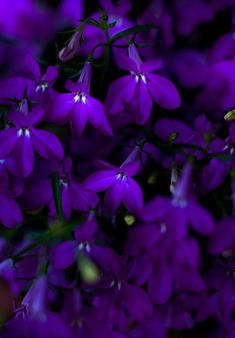 Purple Lobelia (Lobelia)