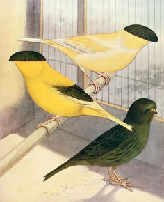 John Robson and Sidney Herbert Lewer - Canaries, hybrids, and British birds in cage and aviary - 1926 - via Internet Archive