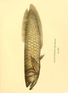 Selecta genera et species piscium : - Biodiversity Heritage Library