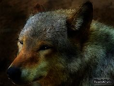 wolf Black Bear, Panther, Wolf, Animals, Animales, American Black Bear, Animaux, Panthers, Wolves