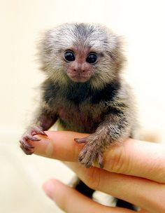 Marmoset by In Cherl Kim: The pygmy marmoset eats  insects, nectar, fruit and tree gum which it obtains by gnawing a hole in the bark of the tree and lapping up the sap which puddles up.