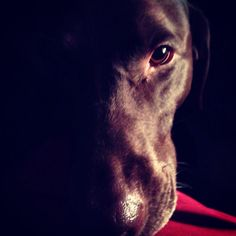 Sweetest creature I've ever known. Love my Lola girl to bits. #dogs #chocolate #lab # retriever #happiness #love