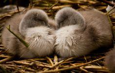 Sibling Love - Fine Art Photography Print, Irish Nature photography, Photo Print on Glossy Paper Fine Art Photography, Nature Photography, Baby Swan, Baby Prints, Swans, Wild Life, Sibling, Photographic Prints, Irish