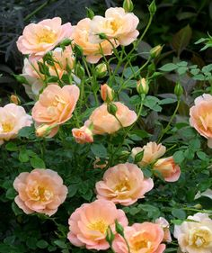 How to Grow a Rose Garden in Pots