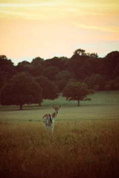 Fallow Deer at sunset Photo by Lynsey Smyth