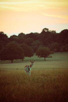earthandanimals:    Fallow Deer at sunset   Photo byLynsey Smyth