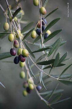 Olives by Luca Vieri of Italy Olive Fruit, Fruit And Veg, Fruits And Vegetables, Olives, Photo Fruit, Olive Harvest, Fruit Photography, Olive Gardens, Fruit Art