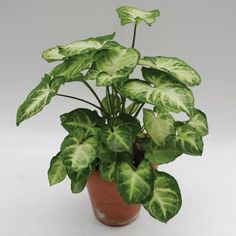 Syngonium 'Pixie' (Syngonium podophyllum) for sale Mini Plants, Green Plants, Tropical Plants, Indoor Plants, Arrowhead Plant, Arrowhead Vine, Butterfly Plants, Inside Garden, Low Light Plants