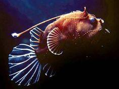 Deep sea angler fish, Queensland Brain Institute at Osprey Reef (NE Cairns) Deep Sea Animals, Deep Sea Creatures, Water Animals, Underwater Creatures, Underwater Life, Underwater Photos, Fauna Marina, Angler Fish, Deep Sea Fishing