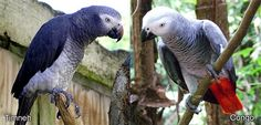 Timneh and a Congo African Grey Parrots. Two varieties. Some difference in temprement. Timneh in less homes overall. Congo's get most of the good press.
